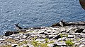 Puffins at Skellig Michael - June 2018 09.jpg