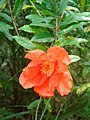 Punica granatum flower (4).jpg