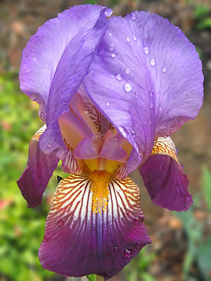 This is a picture of a purple iris flower in d...