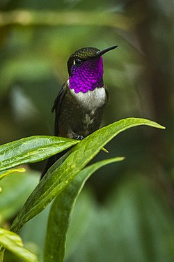Purple-throated Woodstar - Colombia S4E3309.jpg