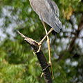 Purple Heron (Ardea purpurea) in Hyderabd W3 IMG 7556.jpg