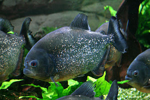 English: Fish Red-bellied piranha Pygocentrus ...