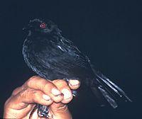 Pyriglena leuconota.jpg