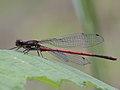 Pyrrhosoma nymphula (Coenagrionidae) (10797629244).jpg
