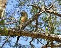 Pyrrhura frontalis -Capao do Leao, Rio Grande do Sul, Brasil-8.jpg