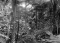 Queensland State Archives 1248 Tropical Jungle Fairyland near Kuranda c 1935.png