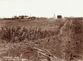 Queensland State Archives 2208 Canefield at Isis Central Sugar Mill 16 September 1896.png