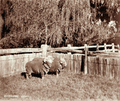 Queensland State Archives 3995 Stud merino rams Glengallan Station near Warwick 8 May 1894.png