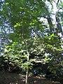 Quercus acutissima 6zz.jpg