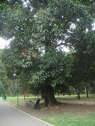 Quercus humboldtii - Quercus humboldtii planted in Bogota Botanical Garden.
