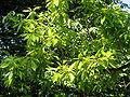 Quercus variabilis JPG1b.JPG