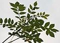 Quickstick (Gliricidia sepium) leaves (back side) in Kolkata W IMG 4053.jpg