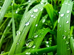 Raindrops in the Grass, Rind, Armenia 05.jpg