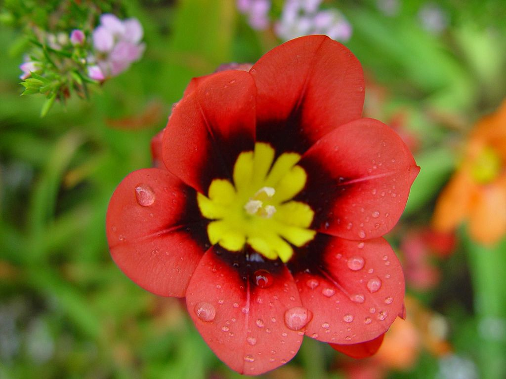 File Raindrops On Red And Yellow Flower Jpg