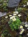Ranunculus alpestris plant Valais.jpg