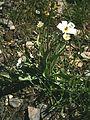 Ranunculus kuepferi 02.jpg