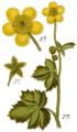 Ranunculus lanuginosus - Sturm.png