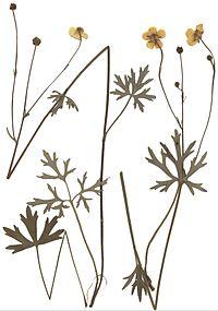 Ranunculus polyanthemoides Herbar.jpg
