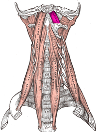 Rectus capitis anterior muscle.PNG