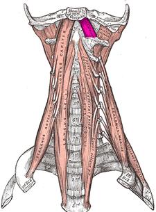 musculus recctus capitis anterior