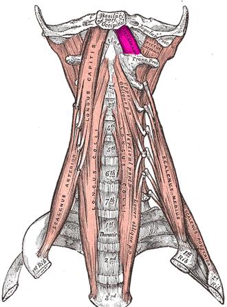 Rectus capitis anterior muscle - The anterior vertebral muscles. Rectus capitis anterior muscle labeled in purple