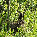Red-Winged Black Bird Chicks (5884201569).jpg