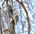 Red-bellied Woodpecker (Melanerpes carolinus) (31626854915).jpg