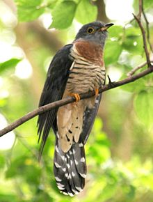 Red-chested Cuckoo (Cuculus solitarius) in tree crop.jpg