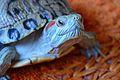 Red-ear-slider-turtle 2.jpg