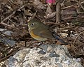 Red-flanked Bluetail female Osaka - Lip Kee 1.jpg