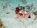 Red-lipped Bat fish.jpg