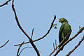Red-lored parrot.JPG