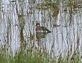 Red-necked Phalarope (record shot) - Flickr - S. Rae.jpg