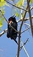 Red-winged Blackbird (4436798255).jpg