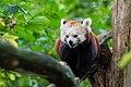 Red Panda (37500369851).jpg