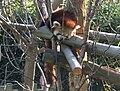 Red Panda at Dublin Zoo.jpg