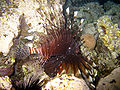 Red sea-reef 3933.jpg