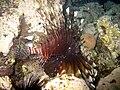 Red sea-reef 3933.jpg
