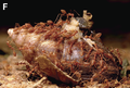 Red weaver ants (Oecophylla smaragdina) feeding on a dead African giant snail (Achatina fulica) - journal.pone.0060797.g001-F.png