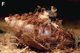Red weaver ants (Oecophylla smaragdina) feeding on a dead African giant snail (Achatina fulica) - journal.pone.0060797.g001-F