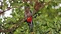 Resplendent Quetzal (Pharomachrus mocinno) (5772516208).jpg