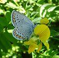 Reverdin's Blue^ Plebejus argyrognomon - Flickr - gailhampshire.jpg