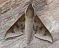 Rhagastis rubetra Rothschild & Jordan, 1907 (Sphingidae) (5719192207).jpg