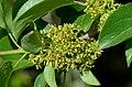 Rhamnus cathartica (7278076286).jpg