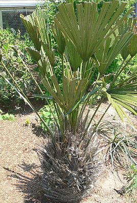 Rhapidophyllum hystrix.jpg