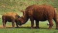 Rhino (8159812692).jpg