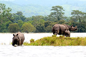 Kaziranga National Park - Image: Rhinos in KNP