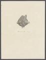 Rhodocrinites verus - - Print - Iconographia Zoologica - Special Collections University of Amsterdam - UBAINV0274 108 18 0004.tif