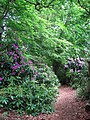 Rhododendron-lined path - geograph.org.uk - 806150.jpg