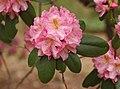 Rhododendron 'Scintillation' Flowers.JPG